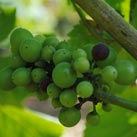 The beginning of the grapes changing colour